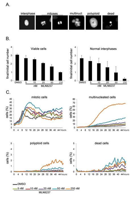 Long-term high-throughput analysis of MLN8237-treated cultures.