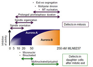 Dose-dependent effects of MLN8237 on cell division and aneuploidy induction: a schematic overview.
