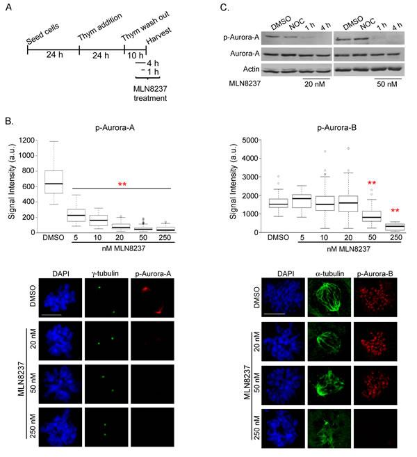 Dose-dependent inhibition of Aurora-A and Aurora-B by MLN8237.