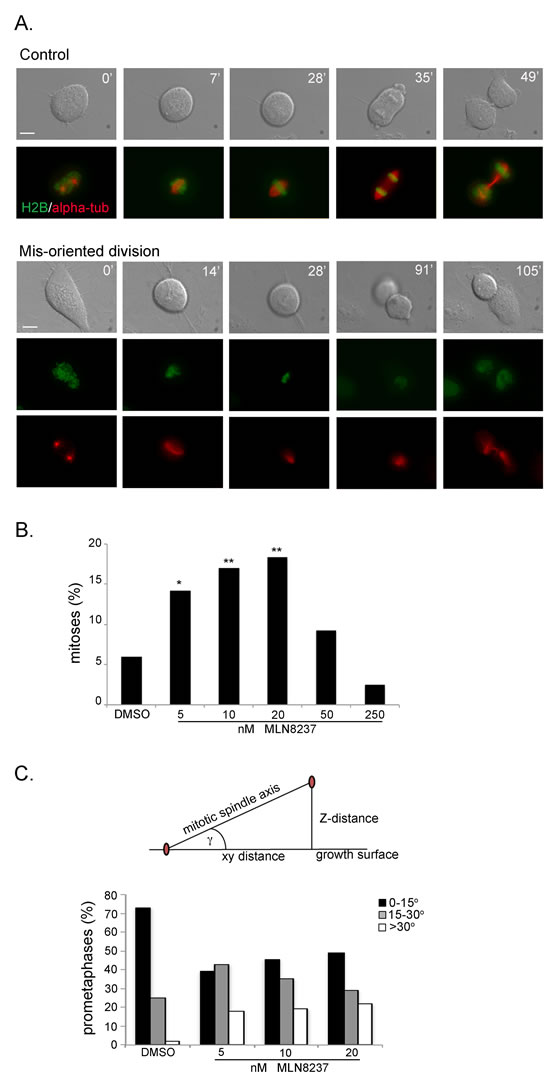 Aurora-A inhibition induces mis-oriented cell division.