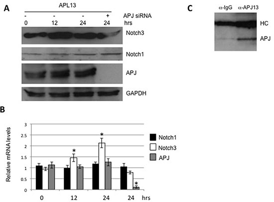 APL13 induces production of Notch3.
