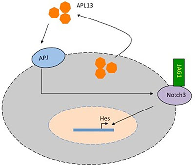 Model of APL13/APJ-Notch3 signaling in colon adenocarcinoma.