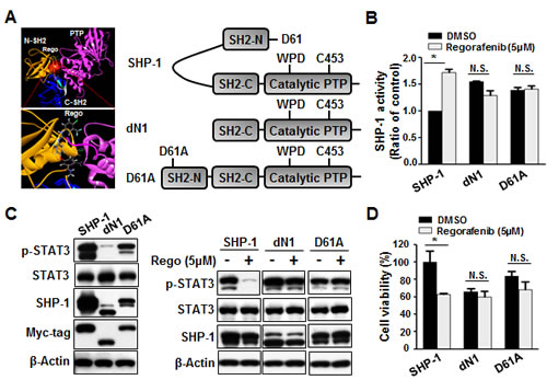 Regorafenib potently relieved the autoinhibition of SHP-1 and contributed to growth inhibition.