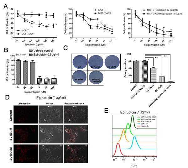 ISL chemosensitizes MCF-7/ADR breast cancer cells.