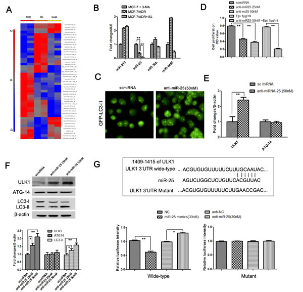 Identification of miR-25 as a novel regulator of ISL-induced autophagy, which functions by targeting ULK1.