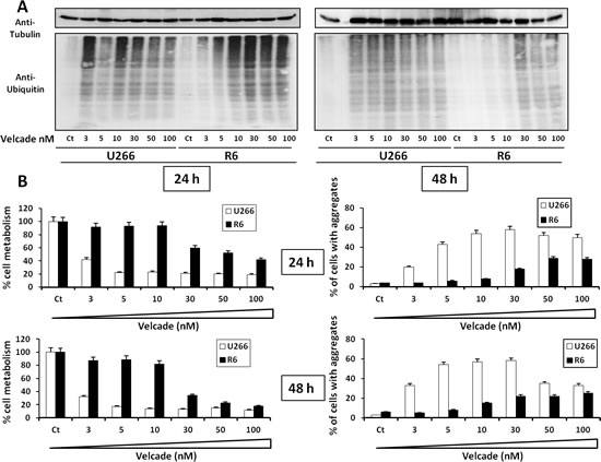Velcade-treated R6 clone exhibits decreased accumulation of poly-ubiquitinated protein and cellular aggregates.