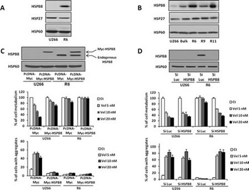 HSPB8 overexpression in R6 cells is responsible for the resistance to velcade.