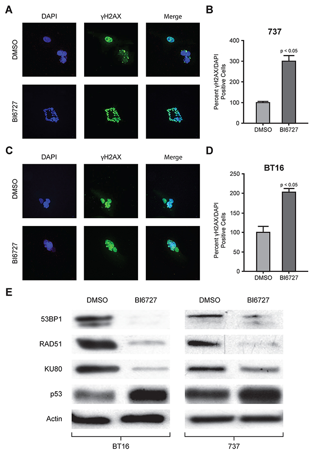 Immunofluorescence analysis of γH2AX and western blot analysis of DNA repair protein with BI6727 treatment: reduction in DNA repair proteins with increased DNA damage and increased tumor suppressor protein levels.