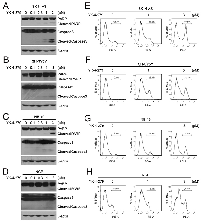YK-4-279 induces apoptosis of NB cells.