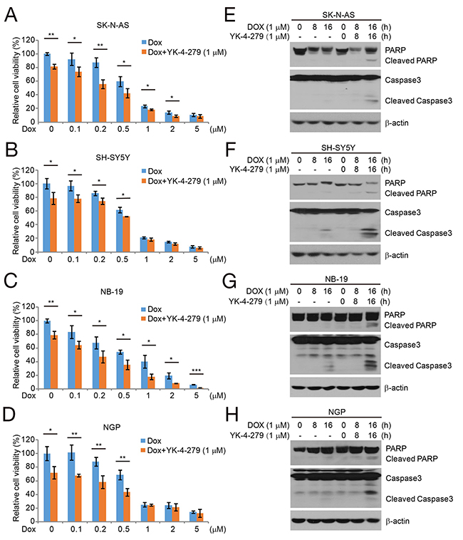 YK-4-279 enhances the cytotoxic effect of Dox and Dox-induced apoptosis in NB cells.