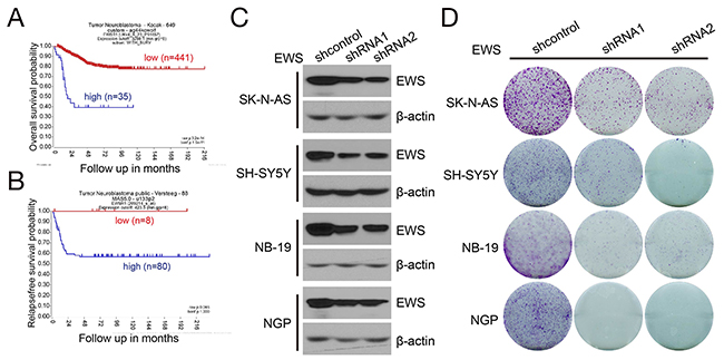EWSR1 expression correlates with survival of NB patients and is required for NB cell growth.