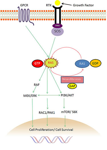 The role of NF1 and neurofibromin in the Ras pathway.