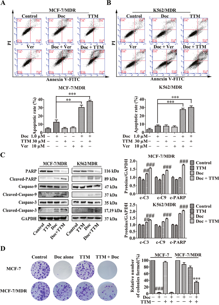 Effect of TTM on apoptosis and clonogenicity of Doc-treated MDR cancer cells.
