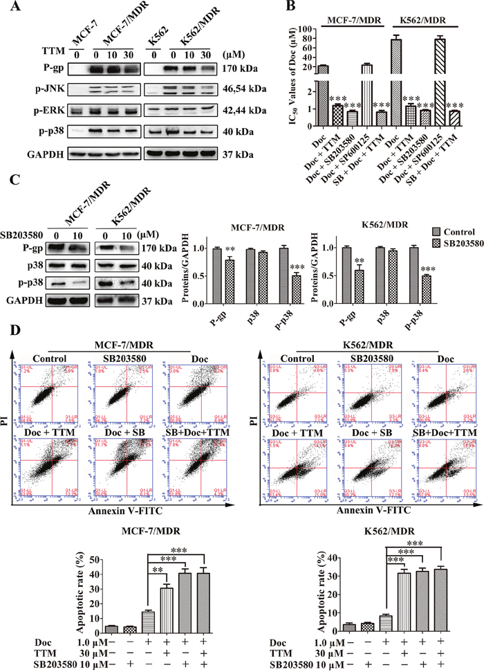 TTM reduces P-gp expression by suppressing p38 MAPK activation in MDR cancer cells.