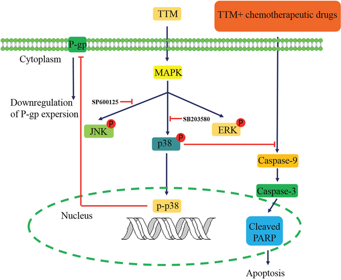 Schematic diagram of TTM-modulated signaling pathways that reverse multidrug resistance in MCF-7/MDR and K562/MDR cells.