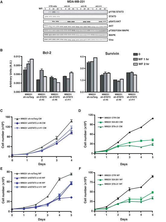 Activation of STAT3 following Wound Fluid stimulation is efficiently impaired in breast cancer cells modified for STAT3 expression.