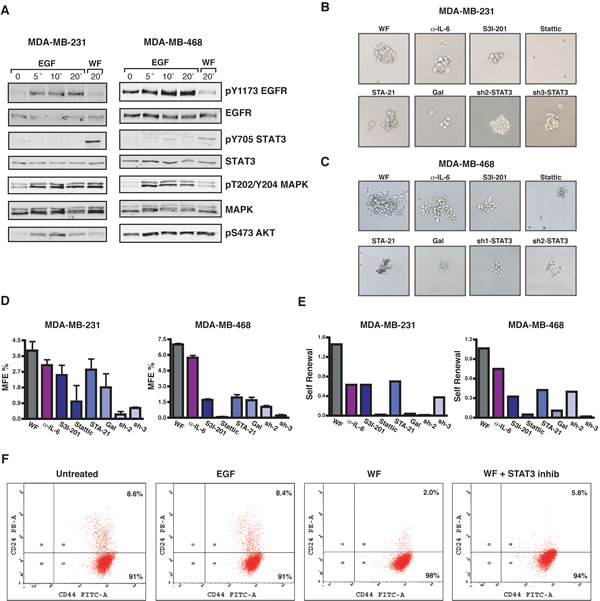 Inhibition of STAT3 impacts on growth and self-renewal of tumor-initiating cells.