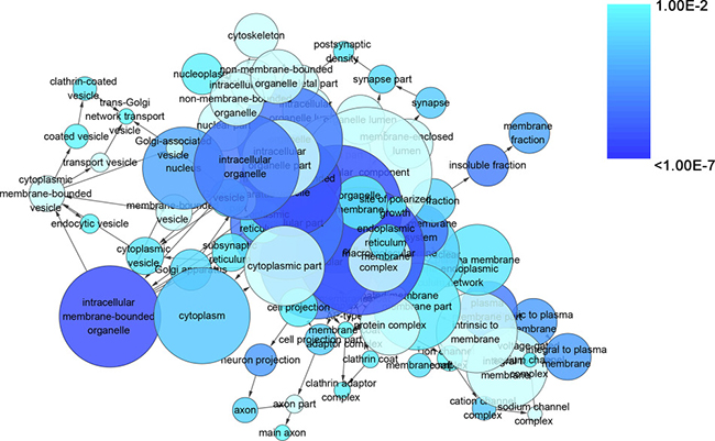 The network of enriched gene ontology terms of cellular component.