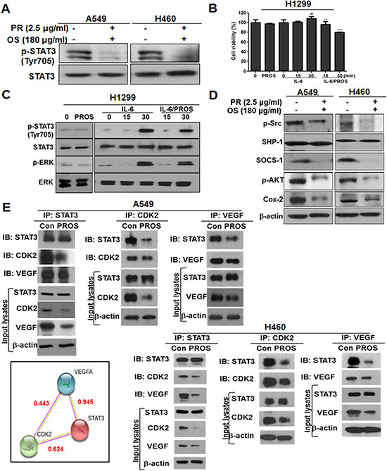 PROS inhibited phosphorylation of STAT3 and subsequently suppressed its interaction with CDK2 and VEGF in A549 and H460 or H1299 NSCLCs.