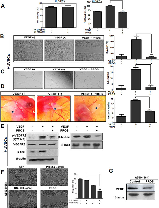 PROS suppressed VEGF-induced angiogenesis in HUVECs.