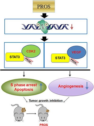 Schematic diagram of antiangiogenic and apoptotic effect of PROS via inhibition of STAT3/VEGF/CDK2 axis signaling.
