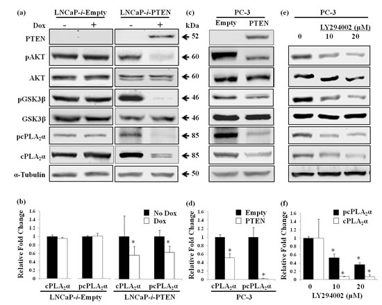 Effect of PTEN expression or PI3K inhibition on cPLA