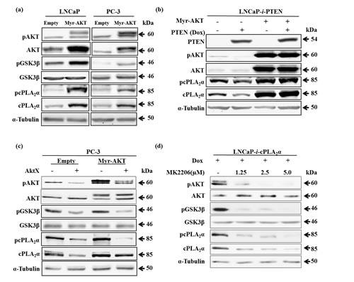 Effect of Myr-AKT expression on cPLA