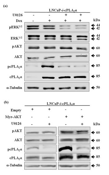 Effect of pAKT on cPLA