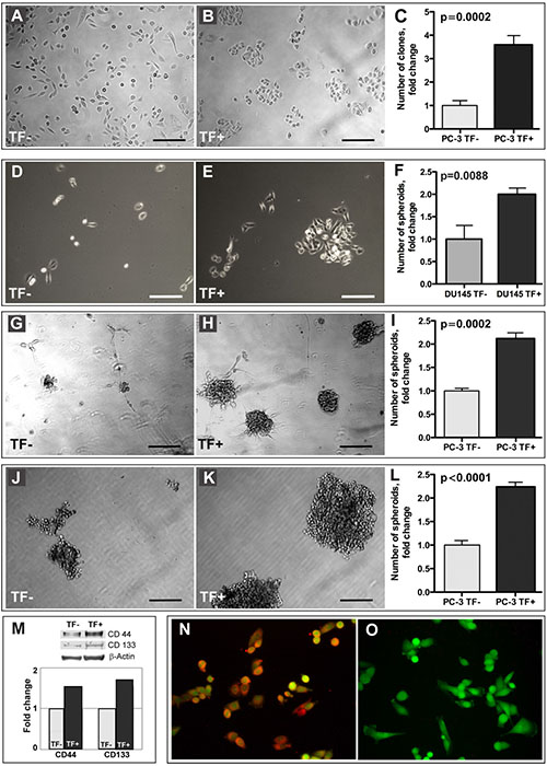 Stem-like properties of TF+ cells.