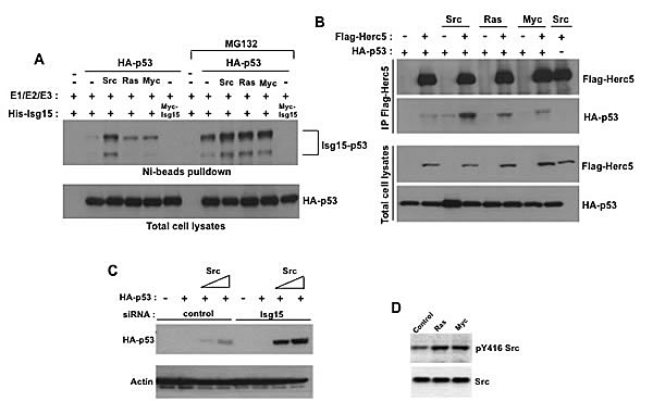 Different oncogenes enhance p53 ISGylation.
