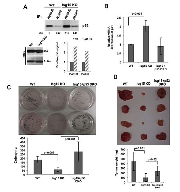 Isg15 regulates oncogenes-mediated transformation.