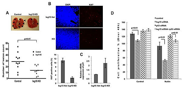 Knockout of Isg15 suppresses cancer formation (A) Isg15 knockout impairs K-ras-induced lung tumors.