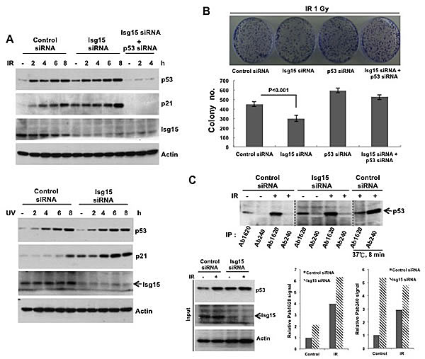 Isg15 regulates p53-dependent DNA damage response.