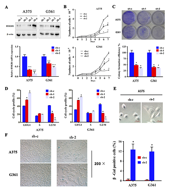 Downregulation of HMGB1 in melanoma cells induced inhibition of cell proliferation, cell cycle arrest and senescence.