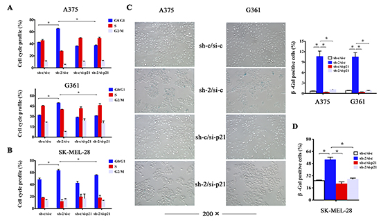 p21 is required for induction of cell cycle arrest and senescence upon HMGB1 depletion.