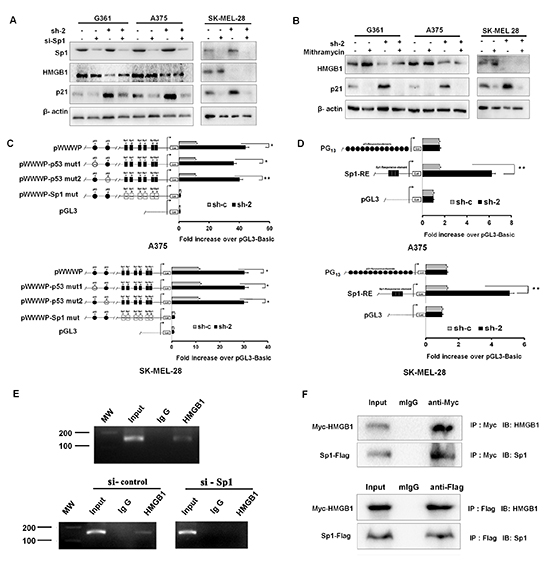 Upregulation of p21 induced by HMGB1 knockdown is Sp1 dependent.