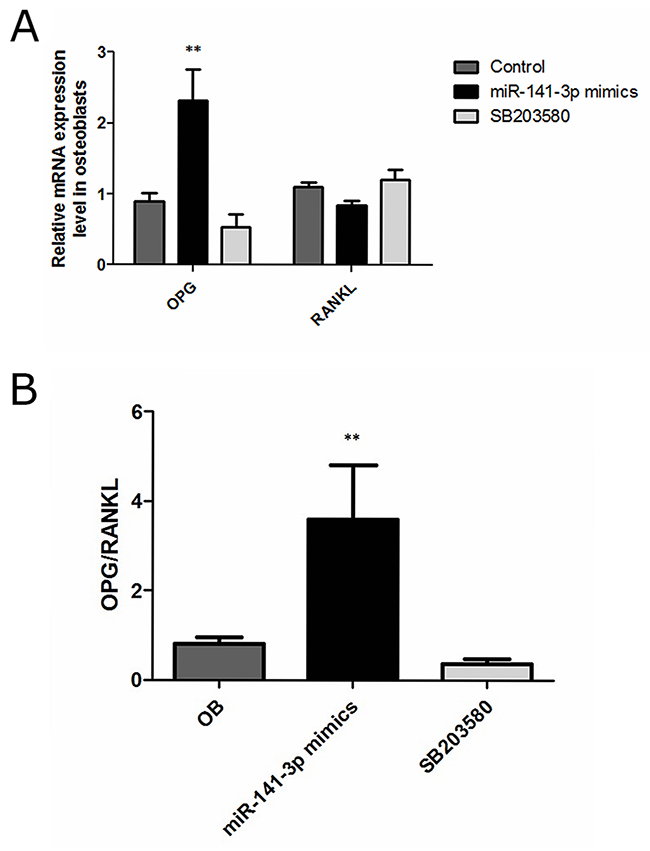 OPG, RANKL expression in osteoblasts.