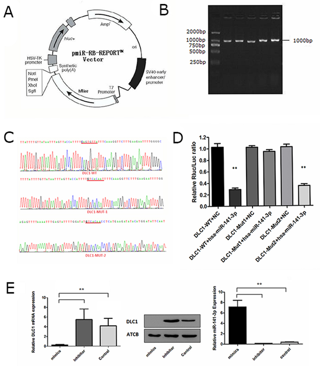 Identification of the miR-141-3p target gene.