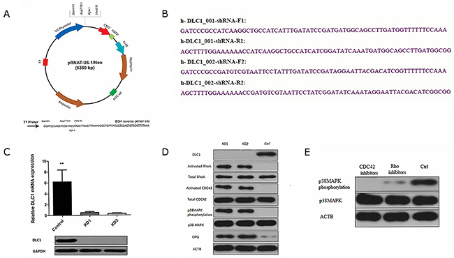DLC1 inhibition is critical for mir-141-3p to activate the p38MAPK pathway.
