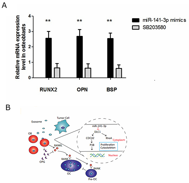 miR-141-3p-promoted osteoblast activity is p38MAPK dependent.