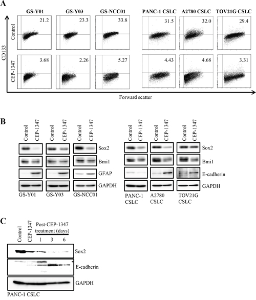 CEP-1347 induces the differentiation of cancer stem cells into non-cancer stem cells.