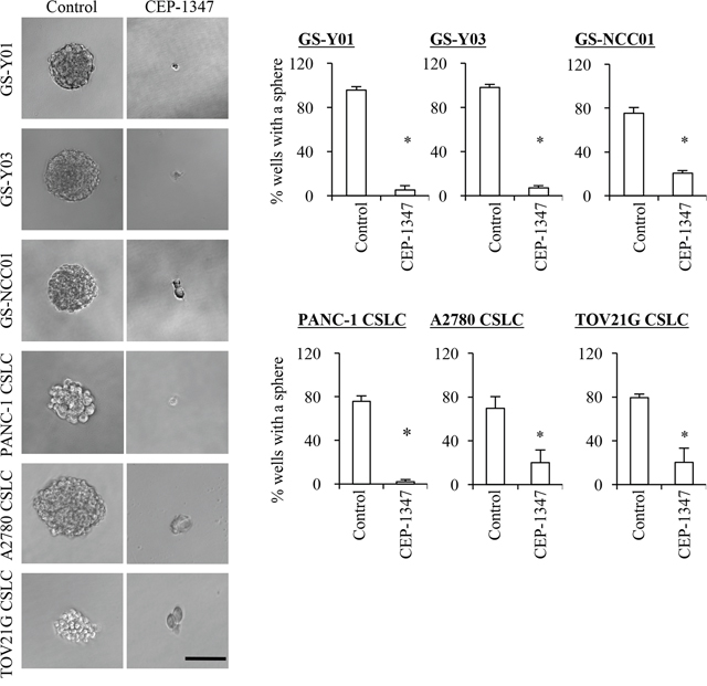 CEP-1347 treatment deprives cancer stem cells of their sphere forming ability.
