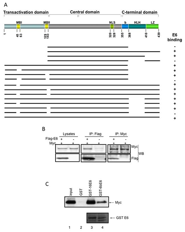 HPV E6 associates with Myc in vivo and in vitro.