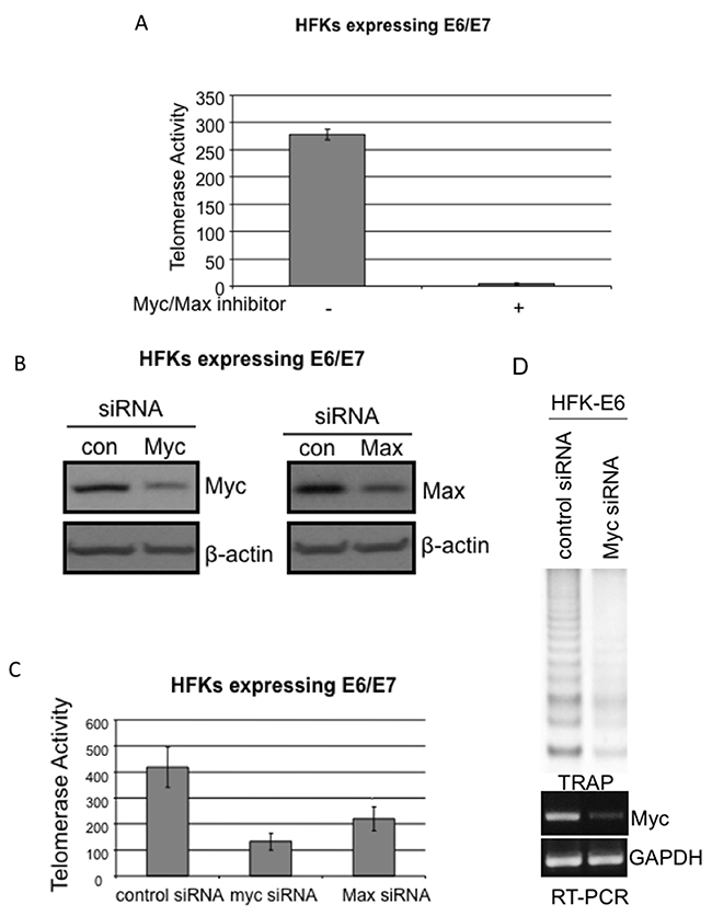 Knockdown of either Myc or Max decreases telomerase activity in E6E7 immortalized cells or tumor-derived cell lines.