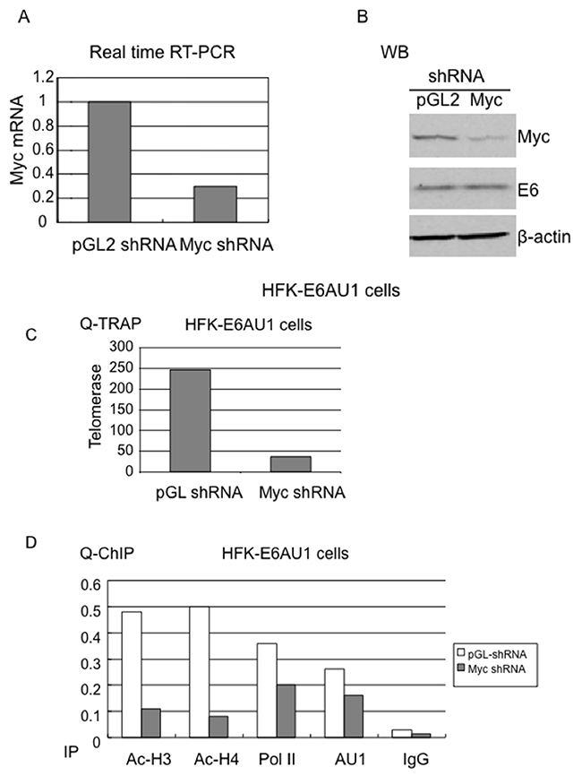 Myc is required for E6-induced chromatin changes at the hTERT promoter.