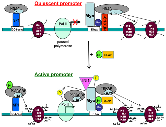 A working model for regulation of the hTERT promoter by E6 and Myc proteins.