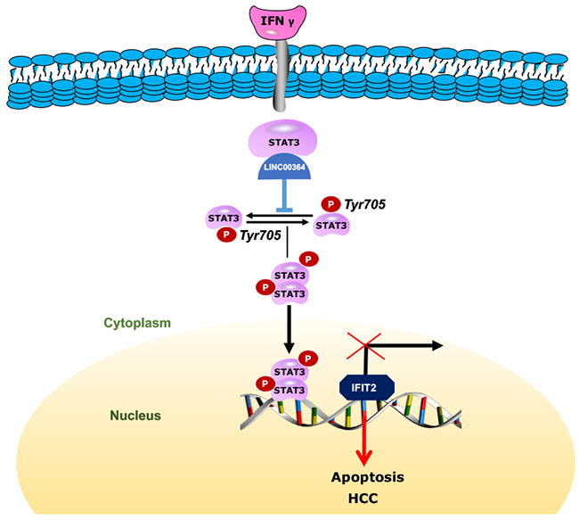 Working model shows that LncRNA00364 may contribute to the development of HCC.