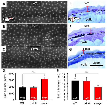 Overexpression of either cdc6 or c-myc is insufficient to transform zebrafish skin cells.