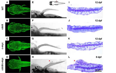 Co-overexpression of cdc6 and c-myc successfully transforms zebrafish skin cells.