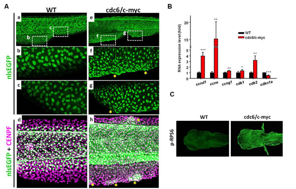 The skin cell morphology and cell proliferation activity in cdc6/c-myc transgenic fish.